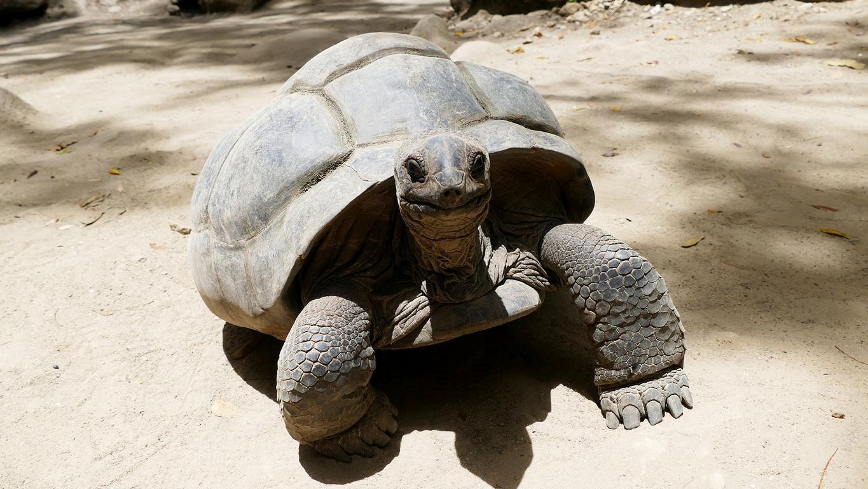 eiine Riesenschildkröte, die sich auf den Seychellen wohlfühlt
